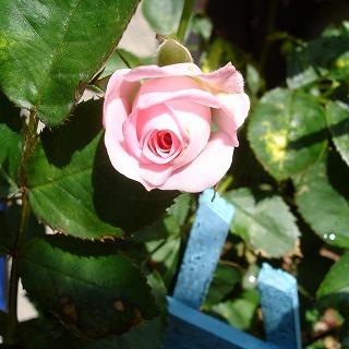 ミニバラが咲きました♪